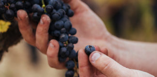 cata de uvas