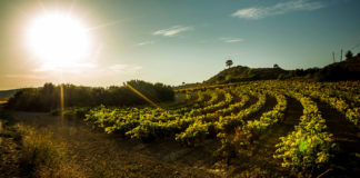 Nuevas plantaciones de viñedo