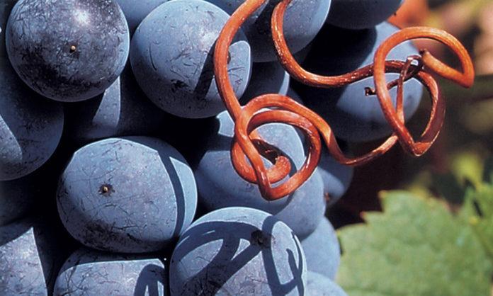 variedades de uva adaptadas al clima cálido