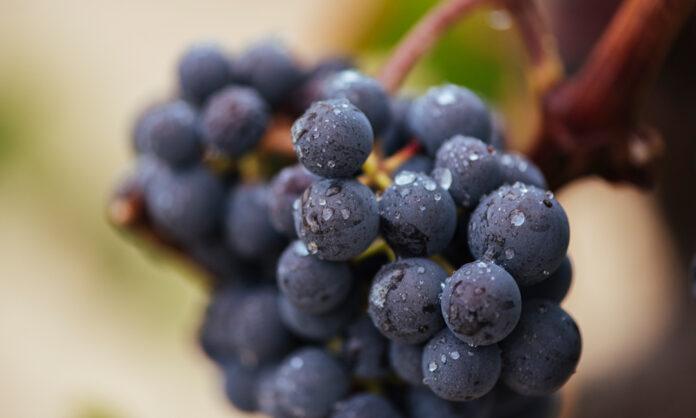 Cuánto cuesta producir uva