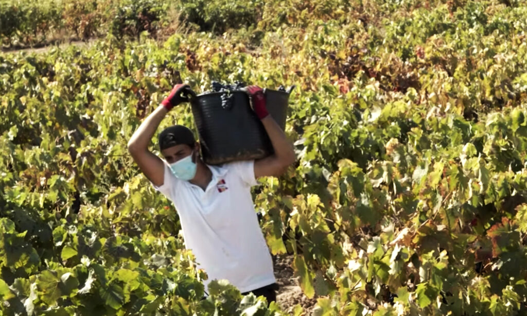 vendimia 2020 en Rioja
