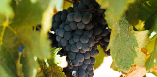Variedad de uva graciano